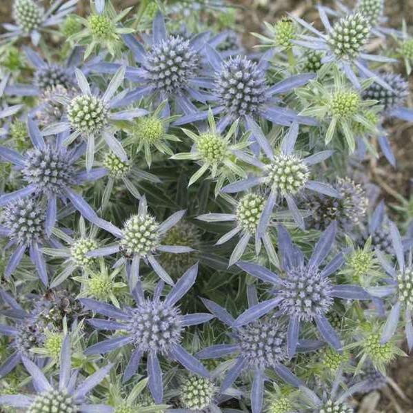 Eryngium Blue Hobbit Sea Holly