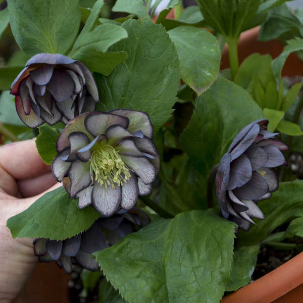Helleborus Black Tie Affair Lenten Rose