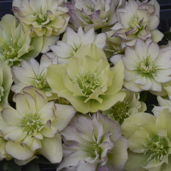 Helleborus First Dance Lenten Rose