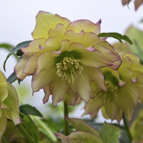 Helleborus First Fance Lenten Rose