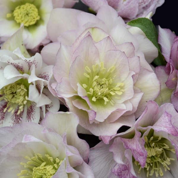 Helleborus Flower Girl Lenten Rose