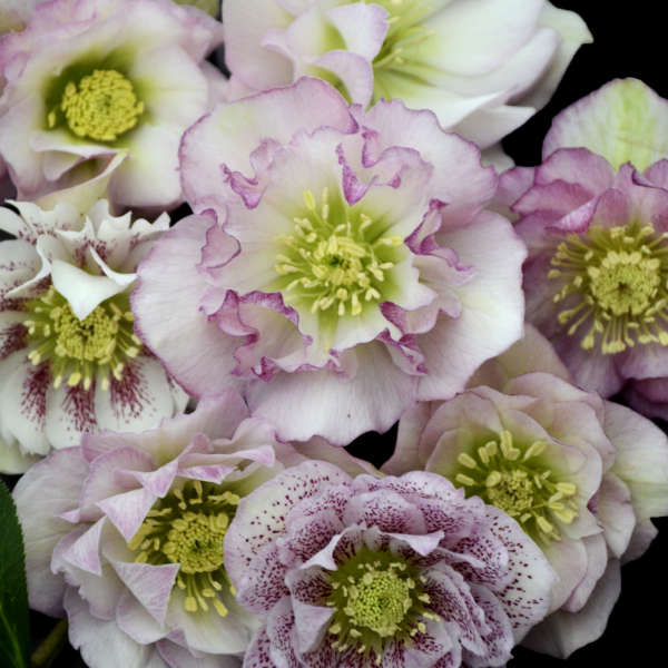 Helleborus Flower Girl Lenten Rose