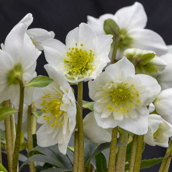 Helleborus Snow Bells