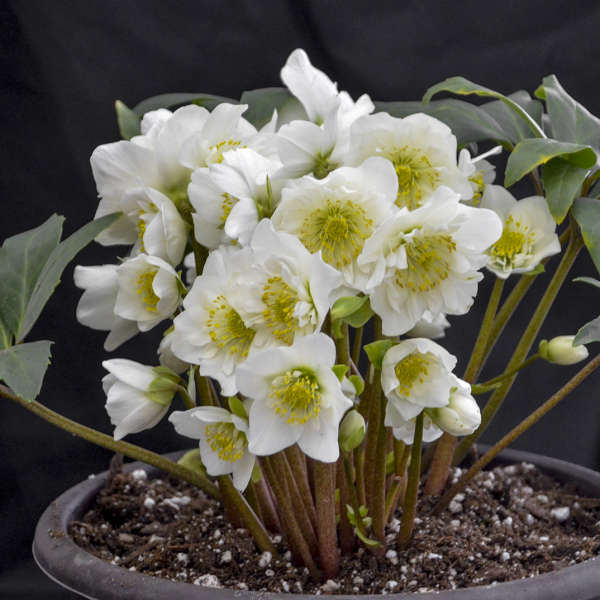 Helleborus Snow Bells Christmas Rose