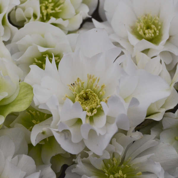 Helleborus Wedding Bells Lenten Rose