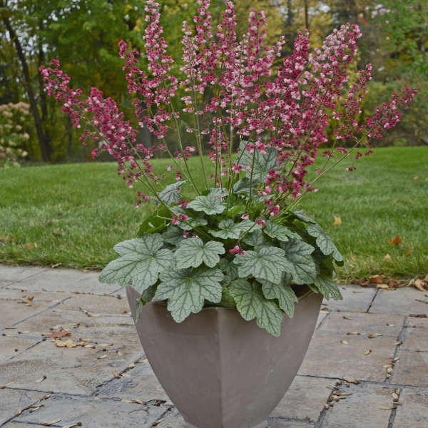 Heuchera Berry Timeless Coralbell pot