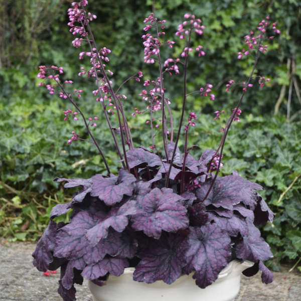 Heuchera Electric Plumb Coral Bell
