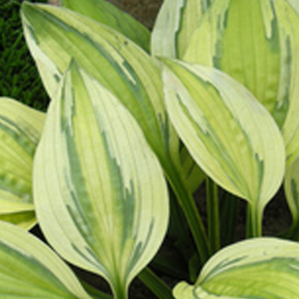 Hosta Captain's Adventure