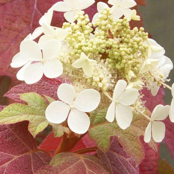 Hydrangea Little Honey, Oakleaf Hydrangea