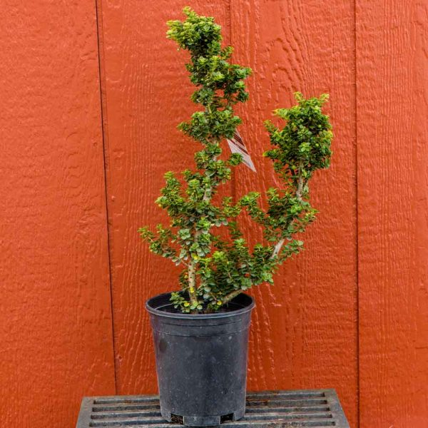 Ilex crenta Dwarf Pagoda, Crenate Holly
