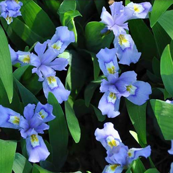 Iris cristata Crested Iris
