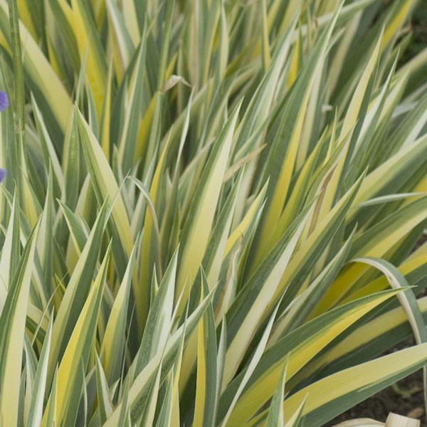 Iris pallida Aureo Variegata, Sweet Iris