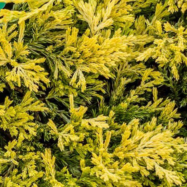 Juniperus Gold Strike, Juniper