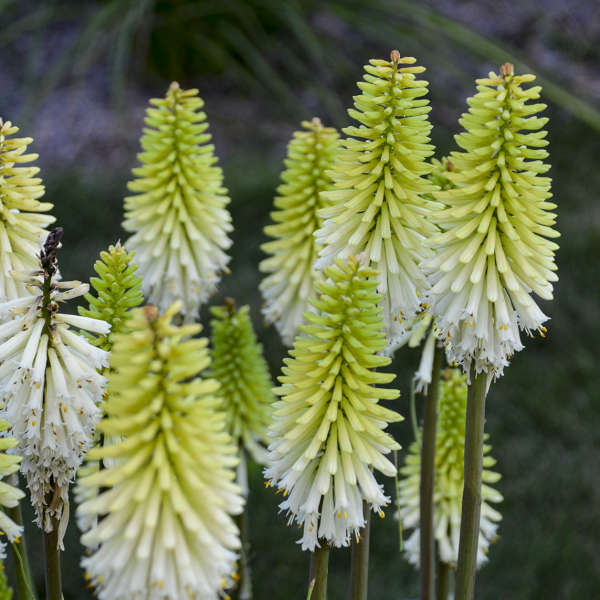 Kniphofia Lady Luck Red Hot Poker