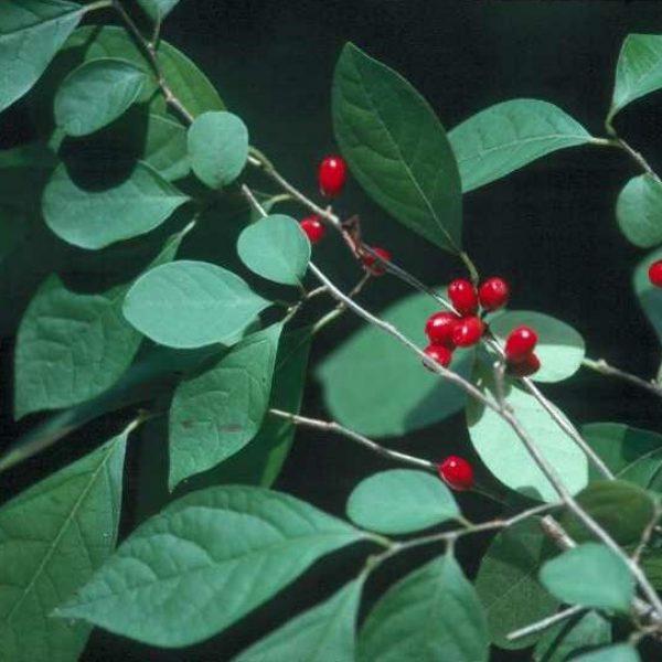 Lindera benzoin, Spicebush