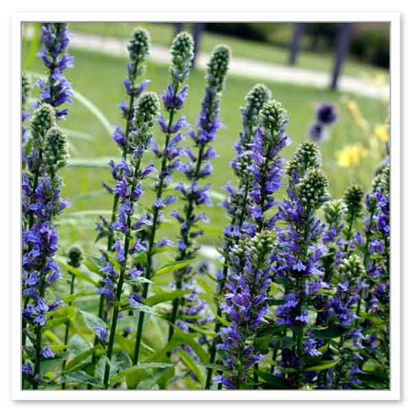 Lobelia-siphilitica-Blue-Cardinal-Flower-flowers
