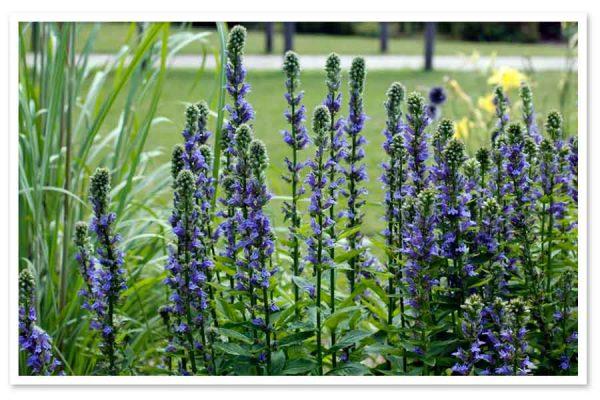Lobelia-siphilitia-Blue-Cardinal-Flower