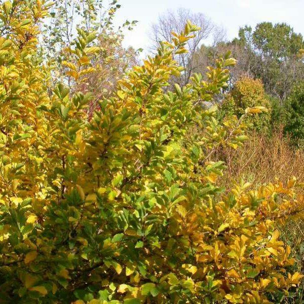 Hamamelis vernalis, Ozark Witch Hazel
