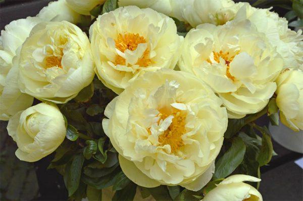 Paeonia Lemon Chiffon Peony