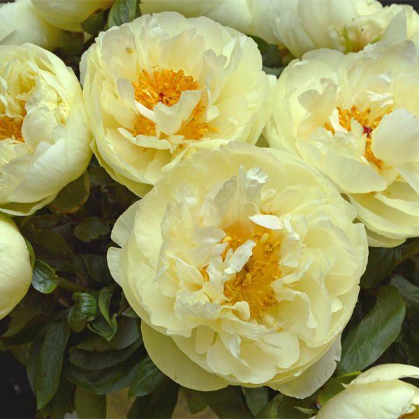 Paeonia Lemon Chiffon Peony – Fresh Dug Roots for Fall Planting