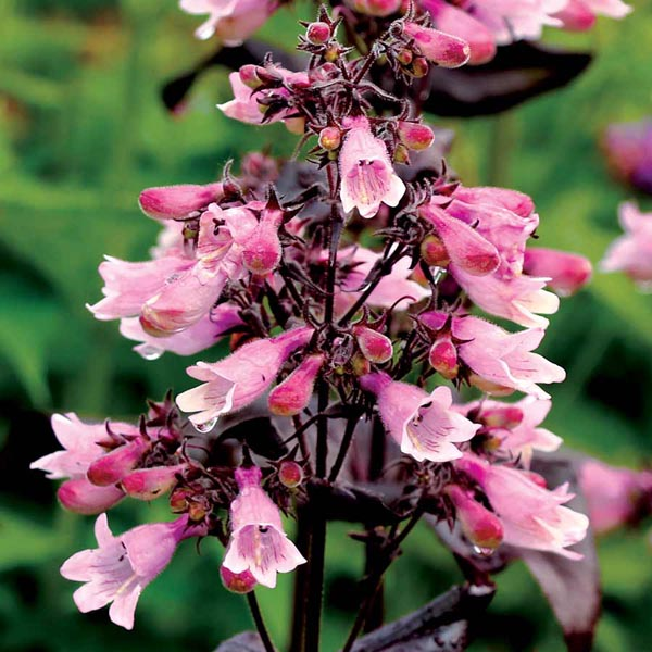 Penstemon-Dakota-Burgundy-Beardtongue