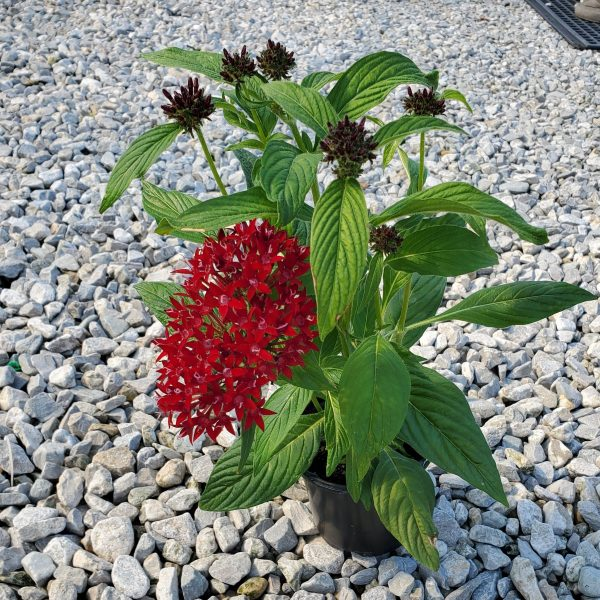 Butterfly Flower Red, Pentas