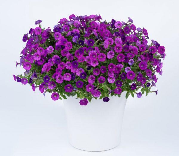 Petunia Littletunia Violet