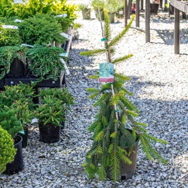 Picea Gold Drift, Weeping Norway Spruce