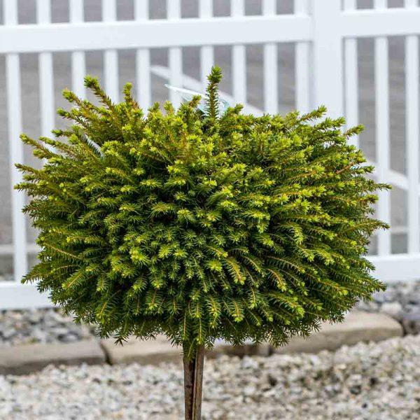 Picea Little Gem Tree Form, Norway Spruce