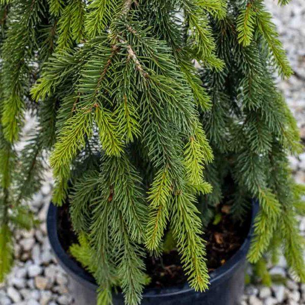 Picea Pendula Weeping Norway Spruce