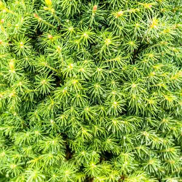Picea Pixie Dust, Alberta Spruce