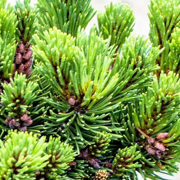 Pinus Sherwood Compact Tall Tree Form, Mugo Pine