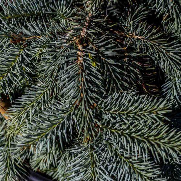 Picea Procumbens, Blue Spruce