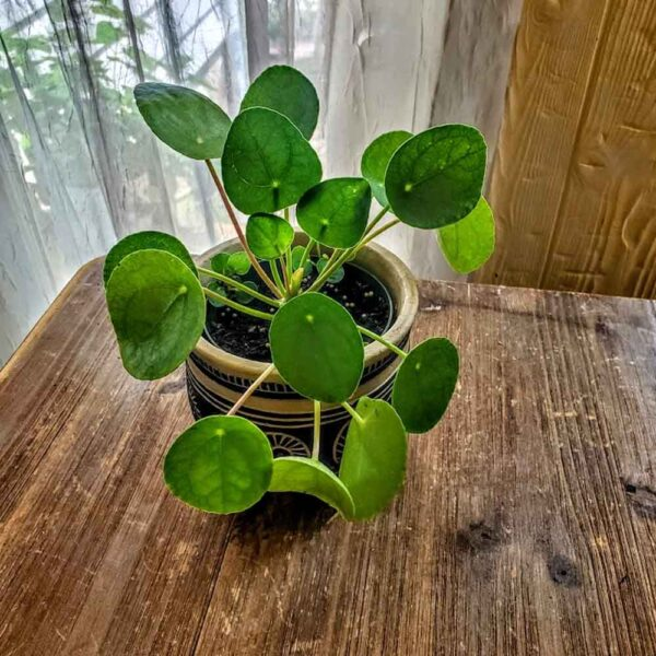 Pilea peperomioides Pass It On Plant