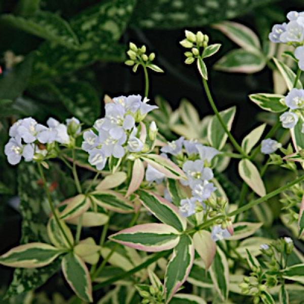 Polemonium Stairway to Heaven Jacobs Ladder flower