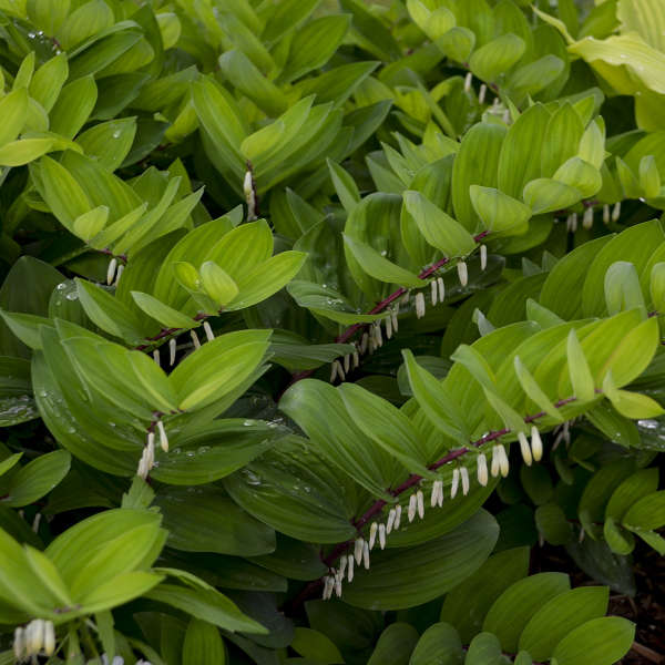 Polygonatum Ruby Slippers Solomon's Seal