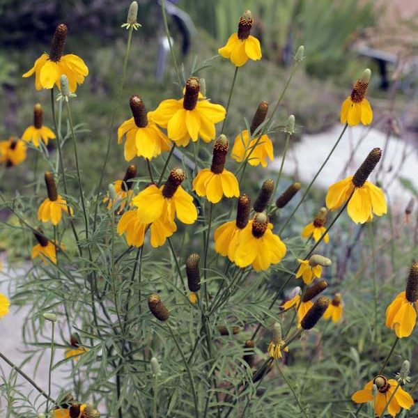 Ratibida columnifera Gray Head Mexican Hat