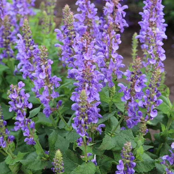 Salvia Sky Blue Marvel Meadow Sage