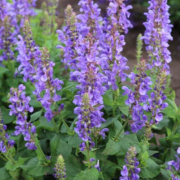 Salvia Sky Blue Marvel Meadow Sage