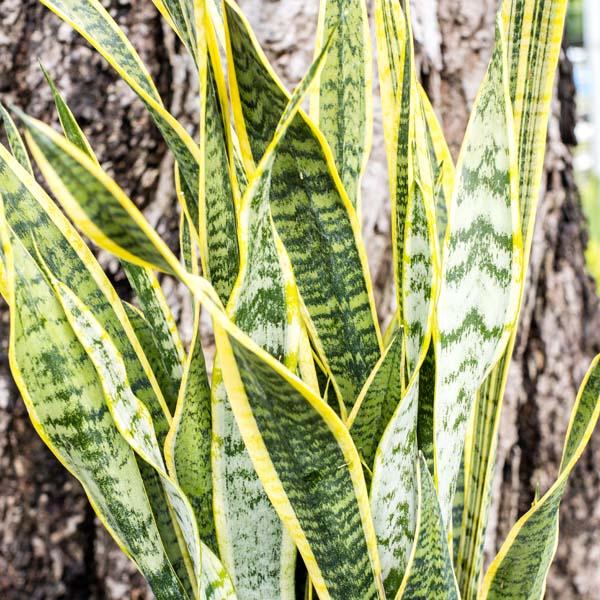 Sansevieria Snake Plant Laurentii