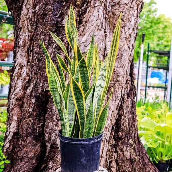 Snake Plant Sansevieria Laurentii