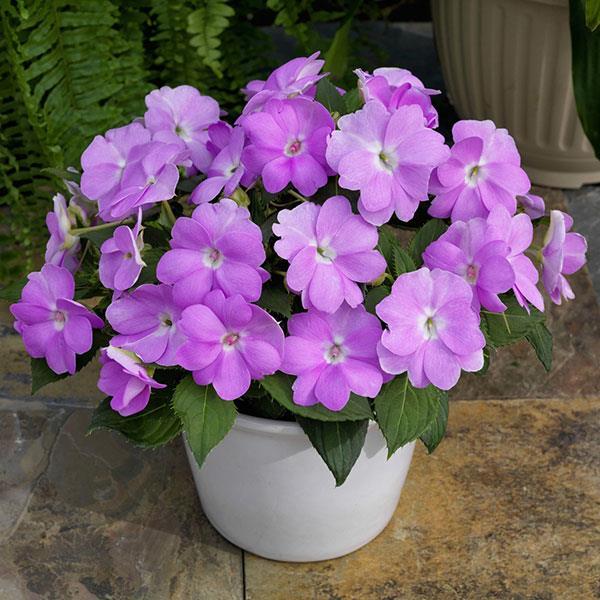 Sunpatiens Compact Orchid