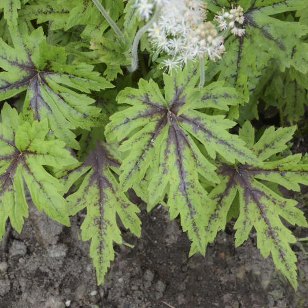 Tiarella Cutting Edge Foamflower
