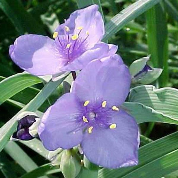 Tradescantia ohiensis Ohio Spiderwort
