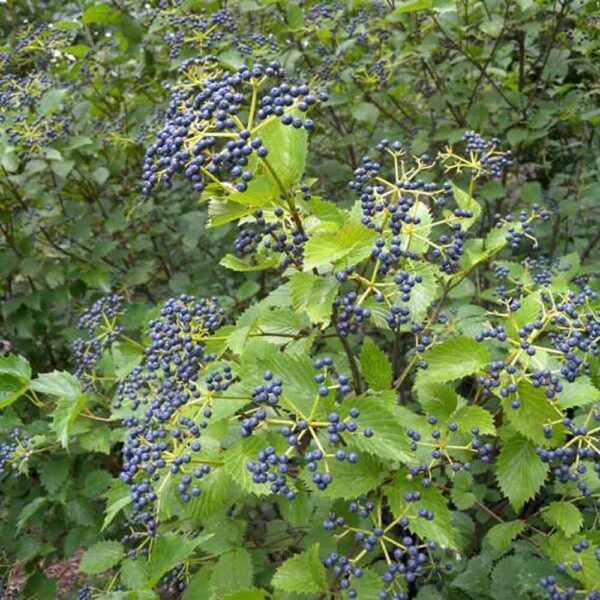 Viburnum Blue Muffin, Arrowwood Viburnum