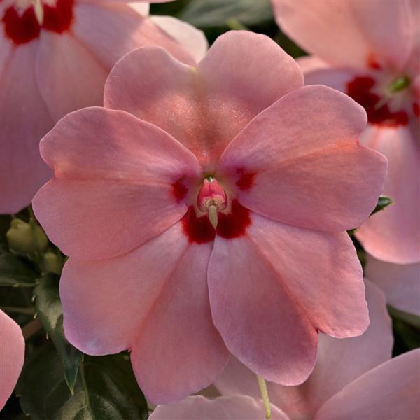 Sunpatiens Vigorous Pink Kiss