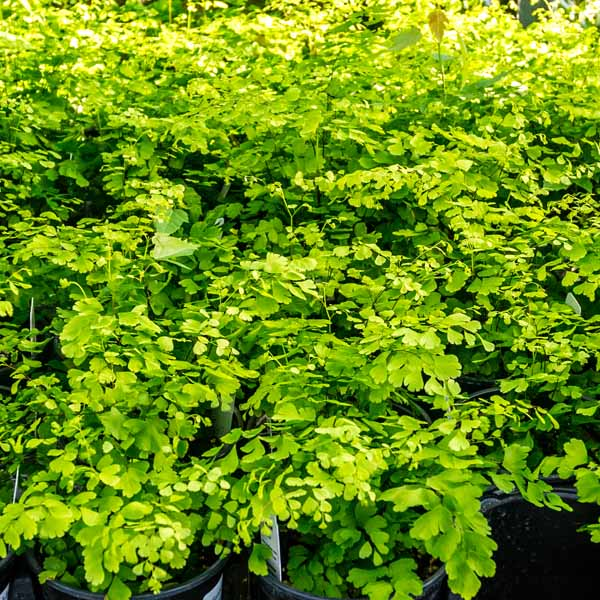 Fern Delta Maidenhair Adiantum Fragrans