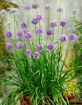 Allium Quattro Onion