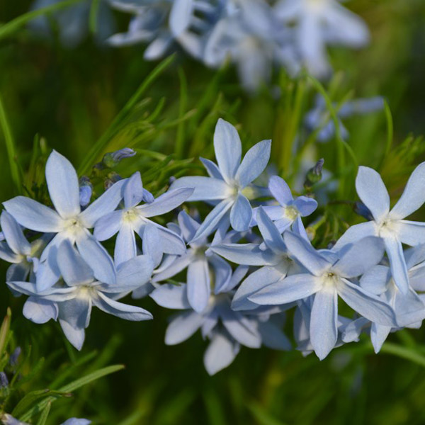 Amsonsia ciliata Blue Star