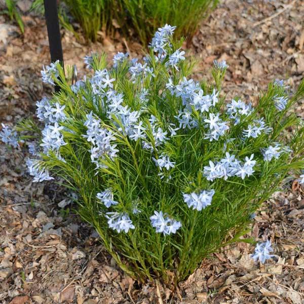 Amsonia ciliata Blue Star